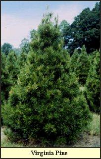 Elves Christmas Tree Farm And Pumpkin Patch Choose And Cut Tree  - Christmas Tree Farm In Virginia