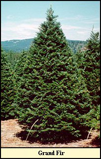 5caf24ffc5c Grand Fir - brought in fresh each year and displayed in water for freshness.